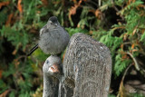 Oiseaux dans ma cour - My backyard birds