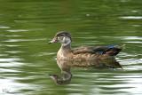 Canard branchu - Wood duck (M in eclipse)