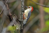 Pic à ventre roux - Red-bellied Woodpecker (Fem)