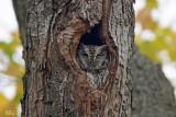 Petit-duc maculé - Eastern Screech-owl