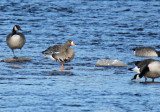 Oie rieuse - Greater white-fronted Goose