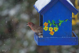 Roselin familier - House finch