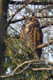 Grand-duc d'Amérique -Great horned owl