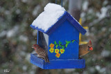 Cardinal rouge et roselin familier - Northern Cardinal and House Finch