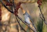 Mésange bicolore - Tufted Titmouse