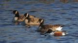 Canard souchet et bernaches - Northern shoveler and geese