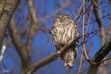 Chouette rayée - Barred owl