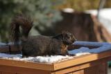 Écureuil gris (noir) - Eastern gray squirrel (black)