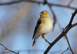 Chardonneret jaune - American goldfinch