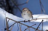 Bruants - Sparrow