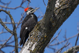 Grand-pic - Pileated woodpecker