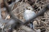 Pie-grièche boréale - Northern shrike