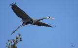 Grand héron - Great blue heron
