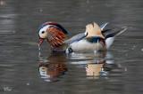 Canard mandarin - Mandarin duck