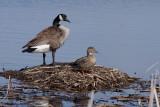 Bernache du Canada et colvert - Canada goose and Mallard