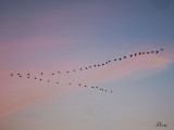 Voilier au coucher de soleil - Geese in flight at sunset