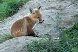 Renardeau - Young fox