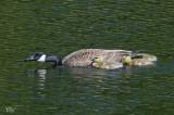 Bernache du Canada et petits - Canada Goose and youngs