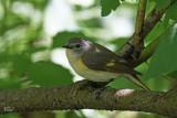 Paruline flamboyante - American Redstart (fem)