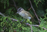 Viréo aux yeux rouges - Red-eyed vireo