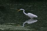 Grande aigrette - Great egret
