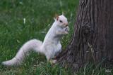 Écureuil gris (blanc) - Gray squirrel (whity)