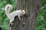 Écureuil gris leucique (blanc) - Leucistic Gray squirrel (whity)