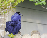 The Magniicent Grackle