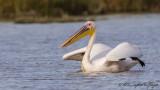 Great White Pelican - Pelecanus onocrotalus - Ak pelikan