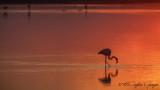 Greater Flamingo - Phoenicopterus roseus - Flamingo