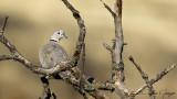 Eurasian Collared Dove - Streptopelia decaocto - Kumru