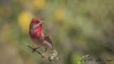 Common Rosefinch - Carpodacus erythrinus - Çütre
