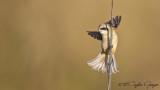 Eurasian Penduline Tit - Remiz pendulinus - Çulhakuşu