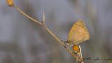 Turkish Meadow Brown - Maniola telmessia - Doğu Çayır Esmeri