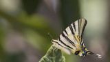 Scarce swallowtail - Iphiclides podalirius - Erik Kırlangıçkuyruğu