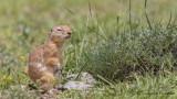 Anatolian Souslik-Ground Squirrel - Spermophilus xanthoprymnus - Gelengi-Anadolu Yersincabı