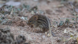 Typical Striped Grass Mouse - Lemniscomys striatus