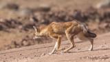 Ethiopian Wolf - Canis simensis