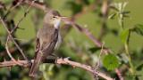 Olivaceous Warbler - Hippolais pallida - Ak mukallit
