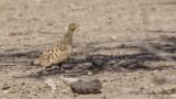Chestnut-bellied Sandgrouse - Pterocles exustus