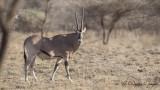East African Oryx - Oryx beisa