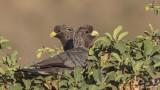 Eastern Plantain-eater - Crinifer zonurus
