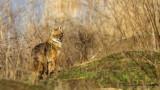 Golden Jackal - Canis aureus - Çakal