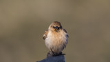 White-winged Snowfinch - Montifringilla nivalis - Kar serçesi