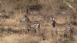 Plains Zebra - Equus quagga