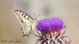 Old World Swallowtail - Papilio machaon - Kırlangıçkuyruk