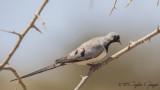 Namaqua Dove - Oena capensis - Kap kumrusu