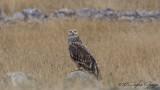 Eastern Imperial Eagle - Aquila heliaca - Şah kartal