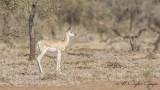 Soemmerring's Gazelle - Gazella soemmerringii