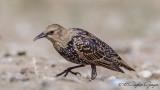 Common Starling - Sturnus vulgaris - Sığırcık